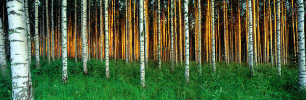 Thicket Photograph - Birch Trees, Saimma, Lakelands, Finland by Panoramic Images
