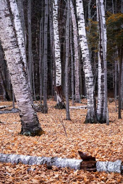 Photograph - Birch Trees by Tom Singleton