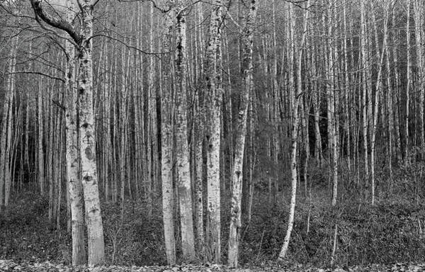 Photograph - Birch Tress by Jenny Mead