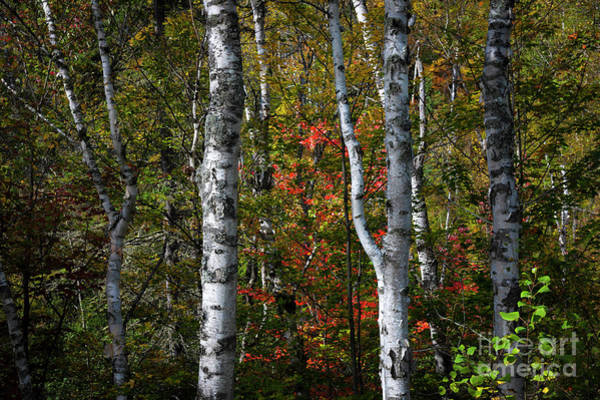 Photograph - Birches by Elena Elisseeva