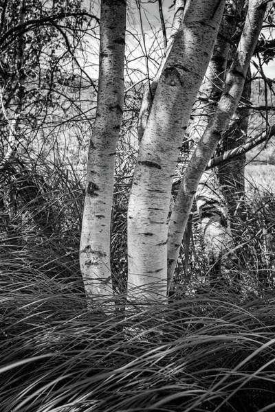 Photograph - Birches In Acadia by Rick Berk