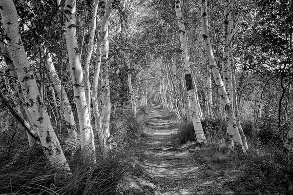Photograph - Birches In Sieur De Monts by Rick Berk