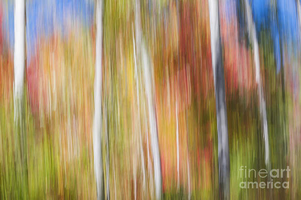 Abstract Impressionism Photograph - Birches In Sunny Fall Forest by Elena Elisseeva