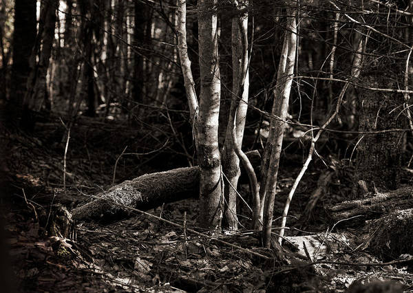 Platinum Photograph - Birches In The Wood by Susan Capuano