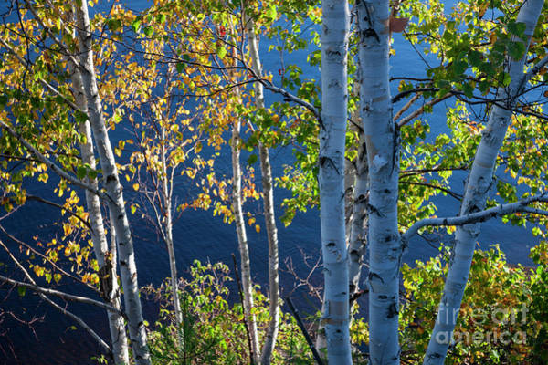 Wall Art - Photograph - Birches On Lake Shore by Elena Elisseeva