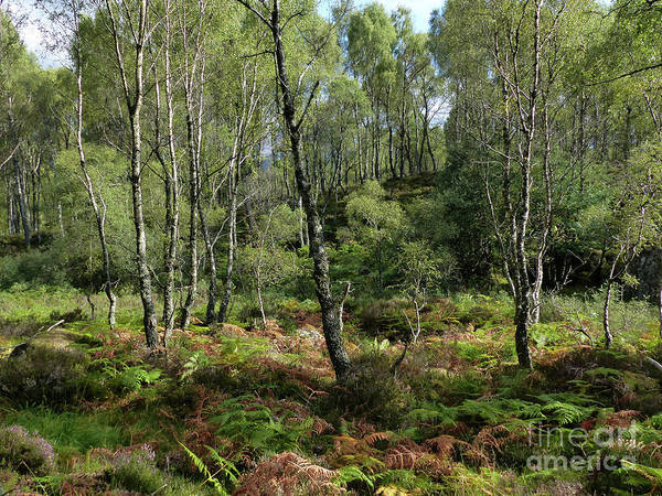 Photograph - Highland Birchwood In Late Summer by Phil Banks