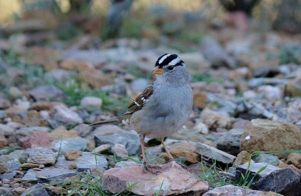 Photograph - White-crowned Sparrow  by Christy Pooschke