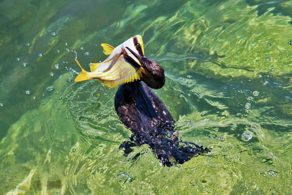 Photograph - Bird Biting Off More Than He Can Chew by Bob Slitzan