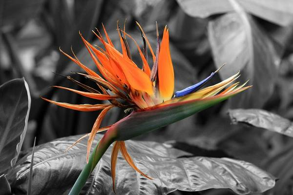 Photograph - Bird Of Paradise 1 - Colorized by David Dunham