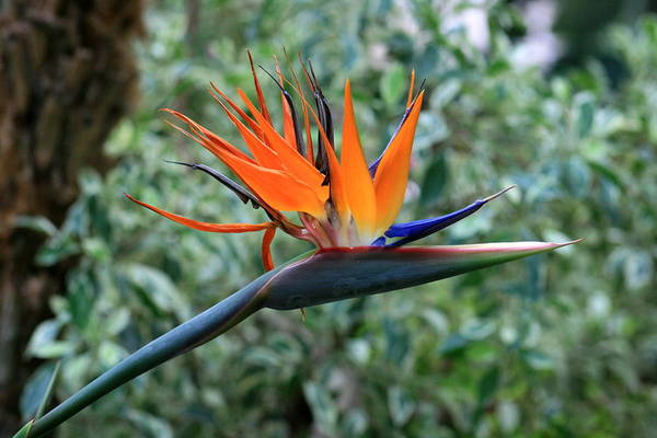 Photograph - Bird Of Paradise 2 by David Dunham