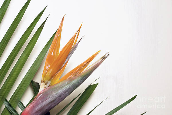 Photograph - Bird Of Paradise  by Cindy Garber Iverson