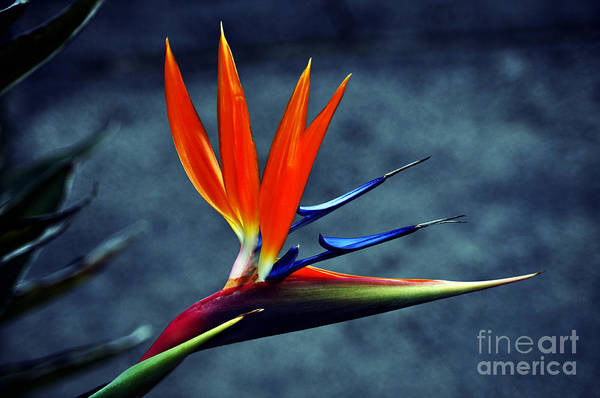Photograph - Bird Of Paradise by Clayton Bruster