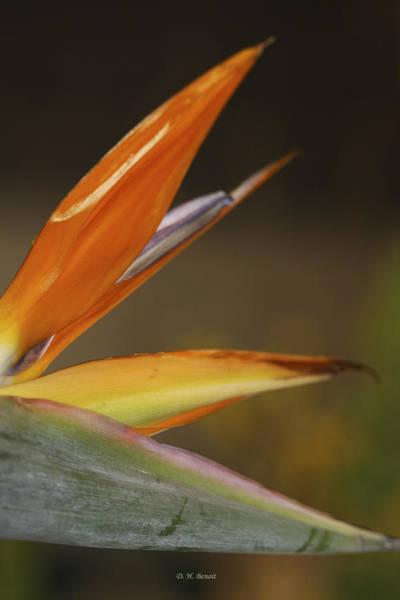 Photograph - Bird Of Paradise by Deborah Benoit
