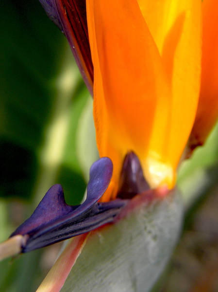 Photograph - Bird Of Paradise Flower by Adam Johnson