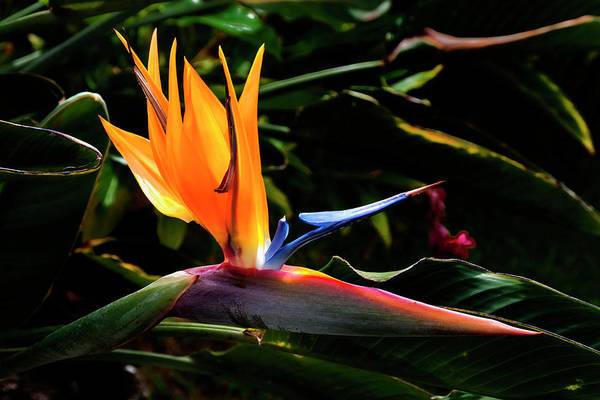 Bird Of Paradise Photograph - Bird Of Paradise Flower by Brian Harig