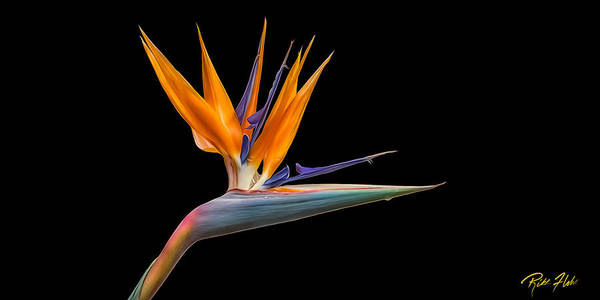 Photograph - Bird Of Paradise Flower On Black by Rikk Flohr