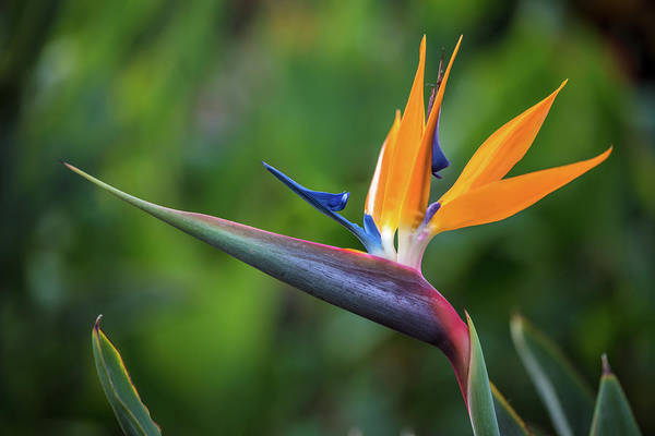 Photograph - Bird Of Paradise Flower by Pierre Leclerc Photography