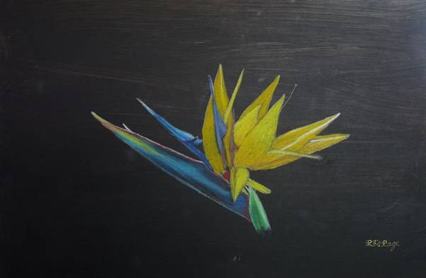 Pastel - Bird Of Paradise Flower by Richard Le Page