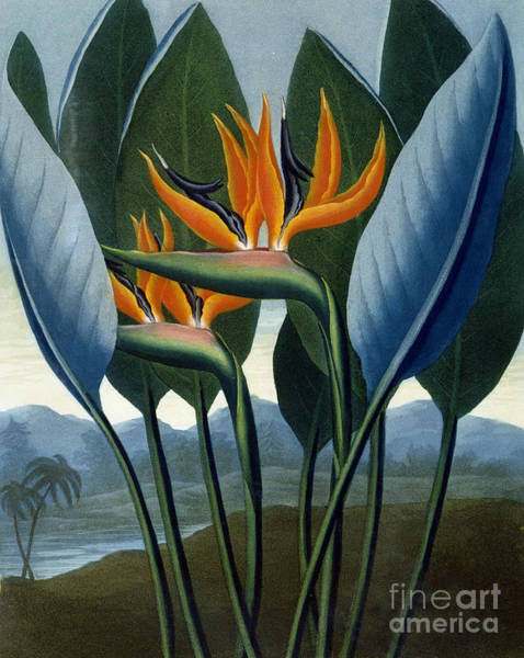 Bird Of Paradise Painting - Bird Of Paradise Flower  The Queen by Peter Charles Henderson