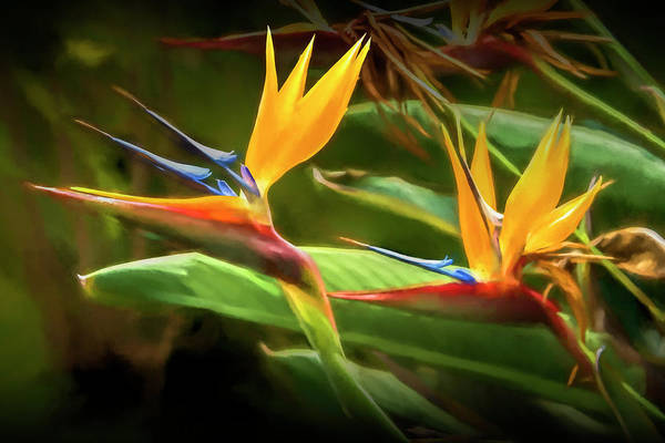 Photograph - Bird Of Paradise Flowers In California by Randall Nyhof