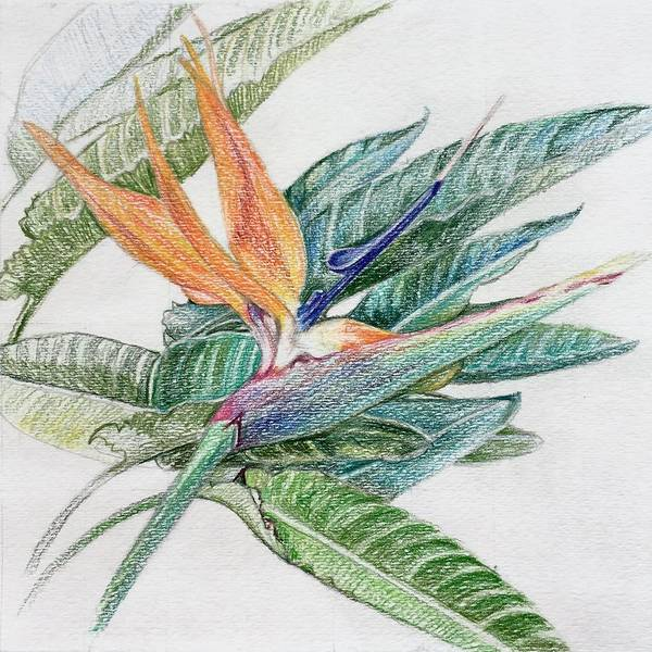 Risk Drawing - Bird Of Paradise by Inga Risk