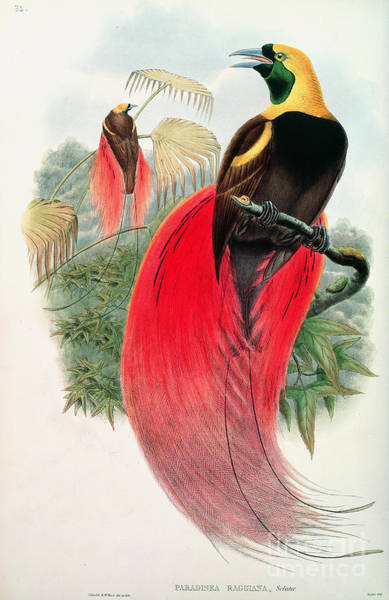 Audubon Painting - Bird Of Paradise by John Gould