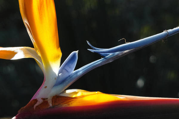 Photograph - Bird Of Paradise by Peter Dyke