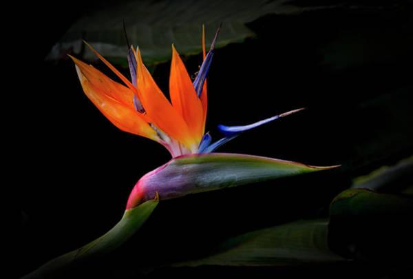 Photograph - Bird Of Paradise by Randy Hall
