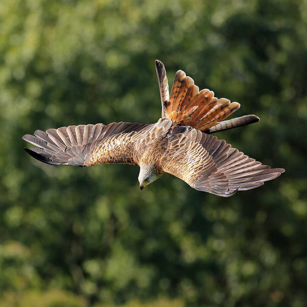 Photograph - Bird Of Prey Diving by Grant Glendinning