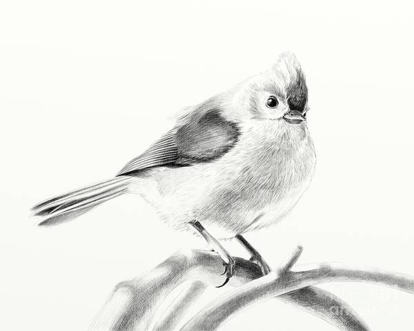 Titmouse Drawing - Bird On A Branch by Eleonora Perlic