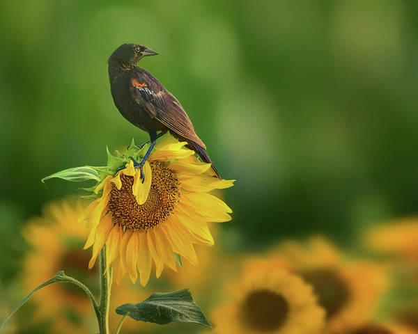 Red-winged Blackbird Wall Art - Photograph - Bird On A Sunflower - Red-winged Blackbird by Nikolyn McDonald