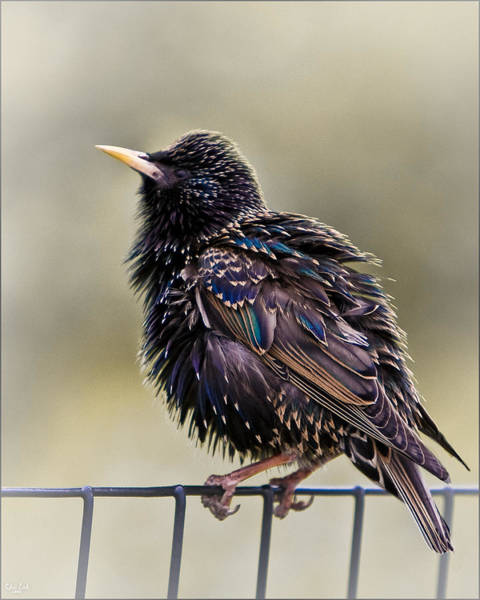 Photograph - Bird On A Wire by Chris Lord