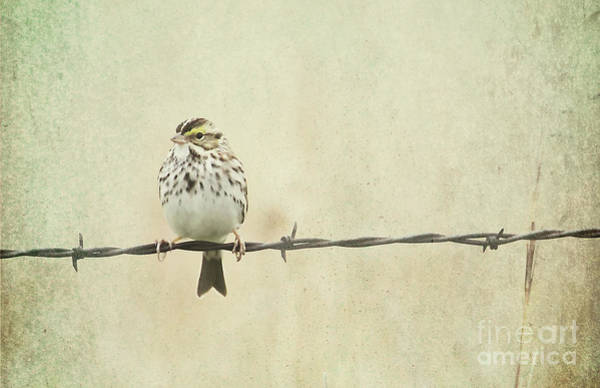 Photograph - Bird On Barbed Wire by Pam  Holdsworth