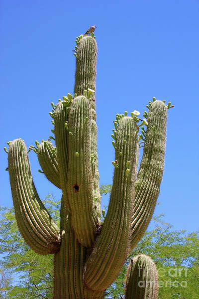 Photograph - Bird On Blooming Saguaro Cactus by Carol Groenen