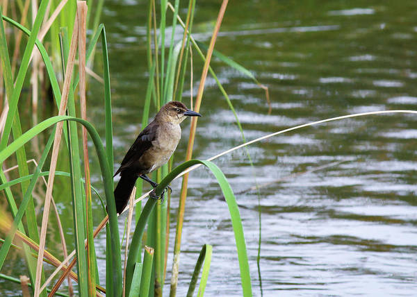 Photograph - Bird On Pond Grass by Alison Frank