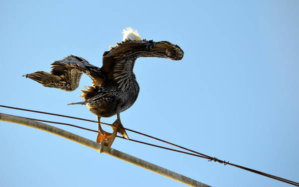 Photograph - Bird On The Wire by AJ Schibig