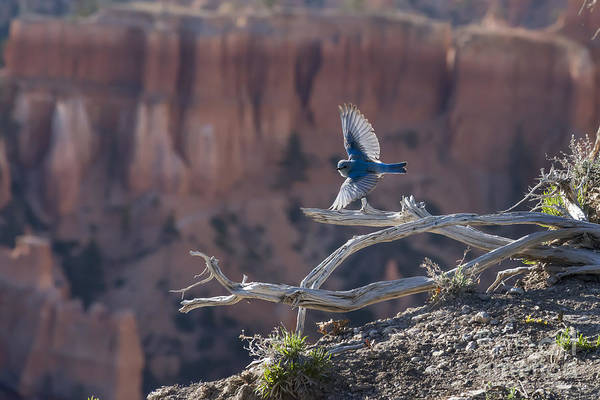 Photograph - Bird Soaring Over The Ledge Of The Canyon by Dan Friend