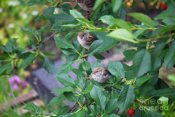 Photograph - Birds And Cherry Branch by Donna L Munro