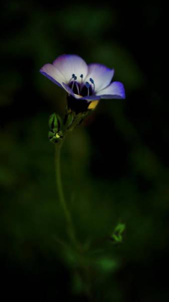 Photograph - Bird's Eye Wildflower  by Lynda Anne Williams