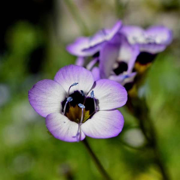 Photograph - Bird's Eye Wildflower Up Close by Lynda Anne Williams