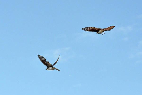 Violet-green Swallow Photograph - Birds In-flight by Asbed Iskedjian