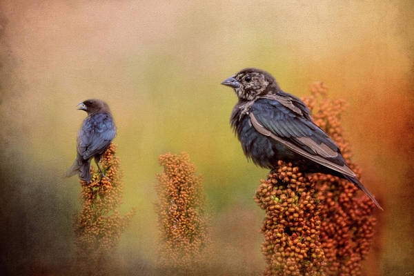 Brown-headed Cowbird Photograph - Birds In The Milo Crop by Jai Johnson