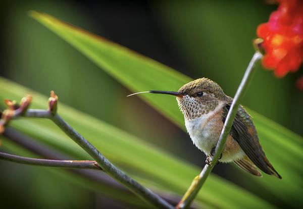 Bird Watcher Photograph - Birds Of Bc - No. 31 - Rufous Hummingbird - Selasphorus Rufus by Paul W Sharpe Aka Wizard of Wonders