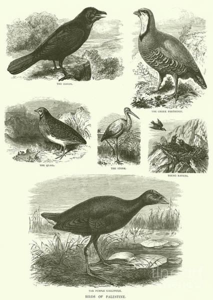 Raven Drawing - Birds Of Palestine  by English School