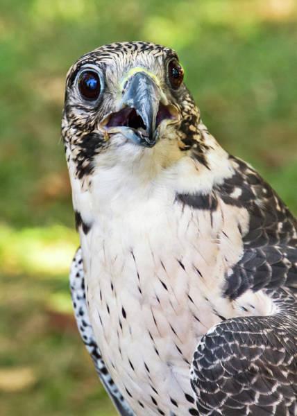 Photograph - Birds Of Prey Series 2 by Bob Slitzan