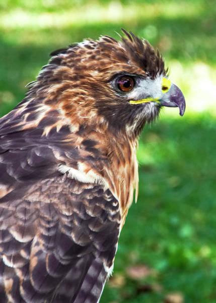 Photograph - Birds Of Prey Series 4 by Bob Slitzan