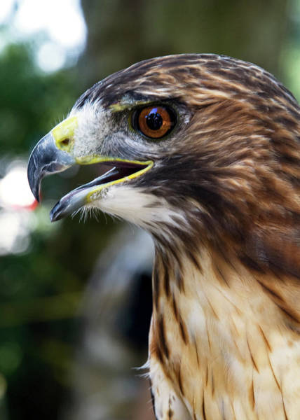 Photograph - Birds Of Prey Series by Bob Slitzan