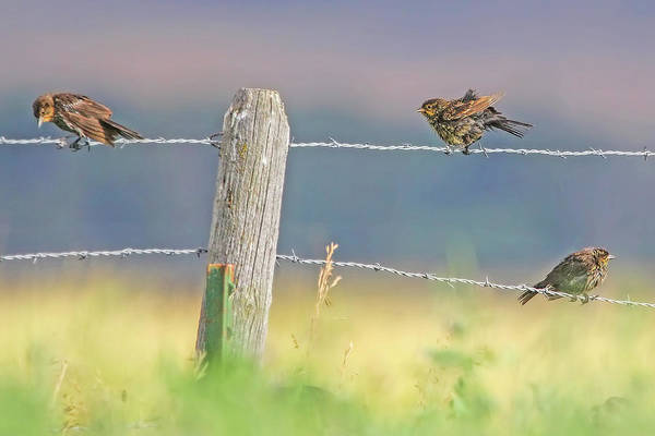 Wall Art - Photograph - Birds On A Barbed Wire Fence by Jennie Marie Schell