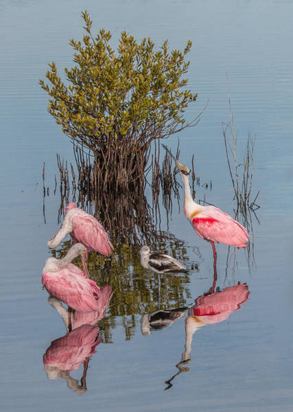 Birds, Reflections, And Mangrove Bush Art Print