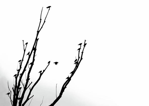 Wall Art - Photograph - Birds Silhouette In Tree Black And White by Jennie Marie Schell